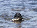 Flat-Coated Retriever Retrieving an Object in Water  MR
