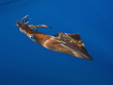 Veined Kalmar Squid (Loligo Forbesi)  Azores  Atlantic Ocean  Portugal