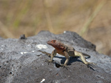 Espanola Lava Lizard (Microlophus Delanonis)  Espanola Island  Galapagos Islands  Ecuador