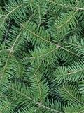White Spruce Needles (Picea Glauca)