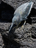Lava Heron (Butorides Sundevalli)  Galapagos Islands  Ecuador