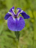 Beachhead Iris  (Iris Setosa Setosa)  Fort Abercrombie State Park  Kodiak  Alaska