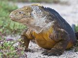 Galapagos Land Iguana Shedding (Conolophus Subcristatus)  North Seymour  Galapagos Islands  Ecuador