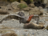 Southern Giant Petrel (Macronectes Giganteus) a Near Threatened Species  Eating an Ant Fur Seal