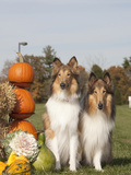 Collies Sitting by Pumpkins and Gourds