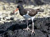 American Oystercatcher (Haematopus Palliatus Galapagensis)  Galapagos Islands  Ecuador