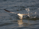 Sandwich Tern (Sterna Sandvicensis) Emerging from the Ocean after Diving for Fish