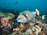 Titan Triggerfish (Balistoides Viridescens)  Amed  Bali  Indonesia