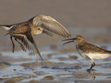 Dunlins (Calidris Alpina) Having a Territorial Battle