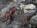 Galapagos Marine Iguana (Amblyrhynchus Cristatus) with a Sally Lightfoot Crab on its Head