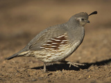 Gambel&#39;s Quail  Callipepla Gambelii  Female  Southwestern USA