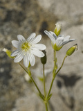 Field Chickweed (Cerastium Arvense)  Salt Point State Park  California  USA  Family Caryophyllaceae