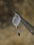 Narrow Leaved Milkweed Seeds Being Released (Asclepias Fascicularis)  California  USA