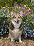 Pembroke Welsh Corgi Sitting in a Garden  MR D2775