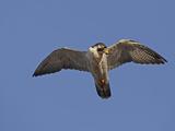 Peregrine Falcon Flying (Falco Peregrinus)
