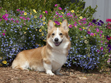 Pembroke Welsh Corgi Sitting in a Garden  MR D2776