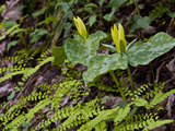 Yellow Trillium (Trilleum Luteum) Great Smoky Mountains Np