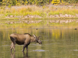 A Moose Feeding in Water Near Fairbanks  Alaska  USA