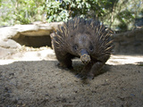 The Short-Beaked Echidna (Tachyglossus Aculeatus) Is One of Three Species of Egg Laying Mammals