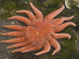 Sunflower Sea Star (Pycnopodia Helianthoides)  Katmai National Park  Alaska  USA