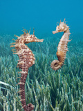 Common Seahorses (Hippocampus Ramulosus)  Tamariu  Costa Brava  Mediterranean Sea  Spain