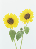 Sunflowers (Helianthus Annuus)