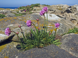 Sea Thrift or Sea Pink (Armeria Maritima)