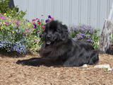 Newfoundland Sitting in a Garden  MR-D2792