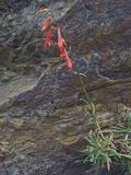 Scarlet Penstemon (Penstemon Rostriflorus)  Ancient Bristlecone Pine Forest  Inyo National Forest