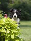 Border Collie Head