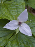 Sweet White Trillium Flower (Trillium Simile)  Great Smoky Mountains National Park  Tennessee  USA