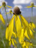 Yellow Coneflower (Ratibida Pinnata)  Hayden Prairie State Preserve  Iowa  USA