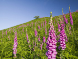 Foxgloves Growing on the Fellside Above Grasmere in the Lake District  United Kingdom
