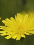 Cat's Ear Flower (Hypochaeris Radicata)  Scotland  UK