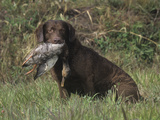 Chesapeake Bay Retriever Sitting with a Retrieved Duck in its Mouth