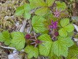 Arctic Blackberry (Rubus Arcticus)  Glacier Bay National Park  Alaska