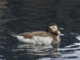 Long-Tailed Duck or Oldsquaw (Clangula Hyemalis)  Seward  Alaska  USA