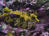 Leafy Sea Dragon (Phycodurus Eques)  Western Australia  Pacific Ocean