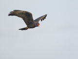 Snail Kite Flying and Vocalizing (Rostrhamus Sociabilis)