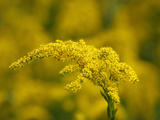 Seaside Goldenrod (Solidago Sempervirens)  Charleston  South Carolina  USA