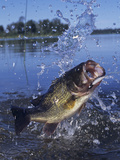 Largemouth Bass Surfacing with a Lure in its Mouth Papier Photo par Wally Eberhart