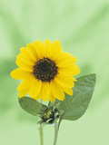 Sunflower (Helianthus Annuus)  an Icon for Summer