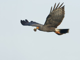 Snail Kite Flying with Prey in its Bill (Rostrhamus Sociabilis)