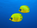 Masked Butterflyfishes  Chaetodon Semilarvatus  Daedalus Reef  Red Sea  Egypt