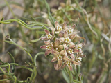 Climbing Milkweed (Sarcostemma Cynanchoides Hartwegii)  Joshua Tree National Park  Mojave Desert
