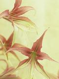 Amaryllis Flowers (Hippeastrum)  La Paz Variety