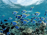 Schooling Surgeonfishes and Powder Blue Tangs (Acanthurus Leucosternon) Maldivesn Ocean