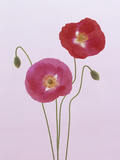 Poppy Flowers and Flower Buds (Papaver Rhoeas)