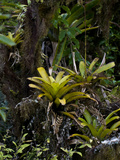 Bromeliad (Tillandsia Insularis)  Galapagos Islands  Ecuador