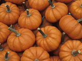 Decorative &#39;Jack Be Little&#39; Mini Pumpkins (Cucubita Pepo) from a Home Garden